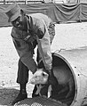 Nuclear test explosion experiment on pig, June 1957 United States photograph of African American soldier, Staff Sergeant N, Morgan, from- Plumbbob Franklin 005 (cropped).jpg