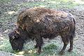 Nyíregyháza Zoo, bison.jpg