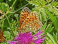 Nymphalidae - Argynnis niobe-001.JPG