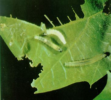 A green leaf with large sections missing against a black background, three small greenish caterpillars feed on the leaf