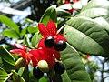 Ochna species 5.jpg
