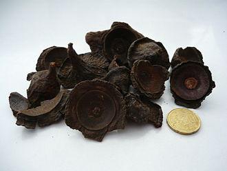 Ocotea - Dried ishpingo (O.quixos) cupules can be used as spice.