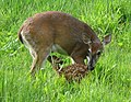 Odocoileus virginianus (white-tailed deer) 8 (8270236202).jpg