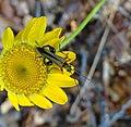 Oedemera podagrariae, Coleoptera-Oedemeridae.jpg