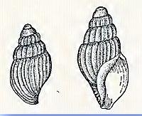 Oenopota blaneyi 001.jpg