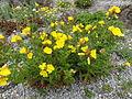 Oenothera fruticosa subsp glauca.JPG
