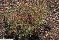 Oenothera perennis 4zz.jpg