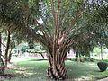 Oil palm tree in RDA, Bogra 01.jpg