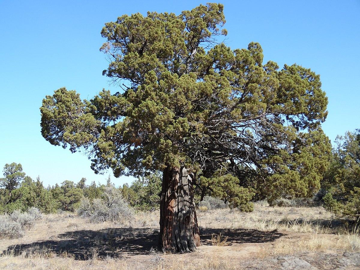 Redmond bend juniper state scenic corridor wikipedia for The juniper