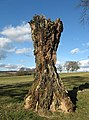 Old tree stump - geograph.org.uk - 750519.jpg