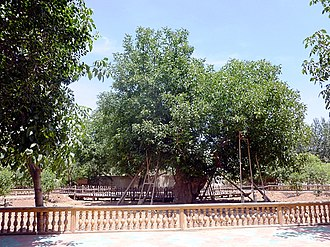 Juglans regia - Walnut tree - Juglans regia L. Claimed to be the oldest walnut tree in the world. Near Khotan, Xinjiang, China, in 2011
