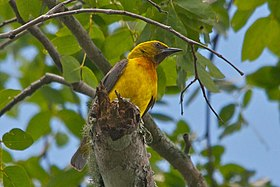 Olive-Headed Weaver (6885915701).jpg