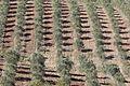 Olive trees orchard in Karaisalı, Adana 2016 02-1.jpg