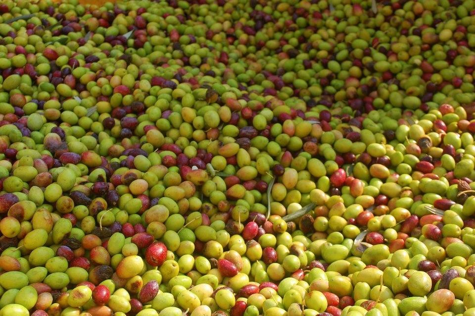 Olives in Israel