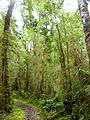Oparara Basin Native forest 1.JPG