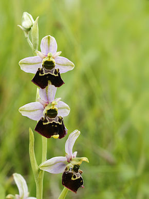 Description de l'image Ophrys fuciflora (plant).jpg.