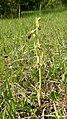 Ophrys sphegodes 12.jpg