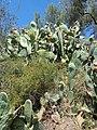 Opuntia ficus-indica Greece 8 2019.jpg