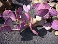 Opuntia macrocentra 2.jpg