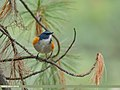 Orange-flanked Bush Robin (Tarsiger cyanurus) (29309069548).jpg