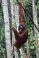 Orangutan at Tanjung Puting National Park.jpg