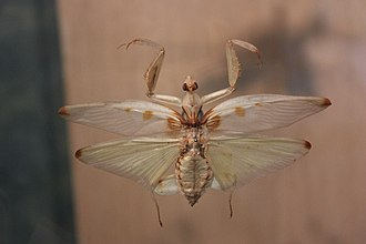 Hymenopus coronatus - Image: Orchid Mantis 314