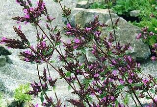 <i>Origanum laevigatum</i> species of plant