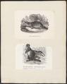 Ornithorhynchus paradoxus - 1700-1880 - Print - Iconographia Zoologica - Special Collections University of Amsterdam - UBA01 IZ20300172.tif