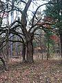 Osage orange tree in Autumn.JPG