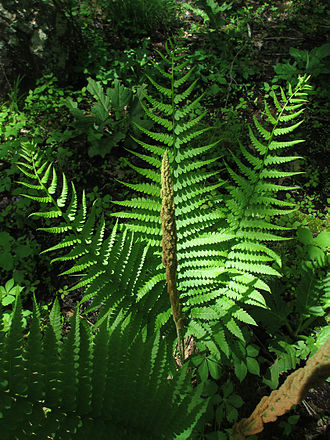 Osmundastrum - Developing spore-bearing frond and several sterile fronds in late spring