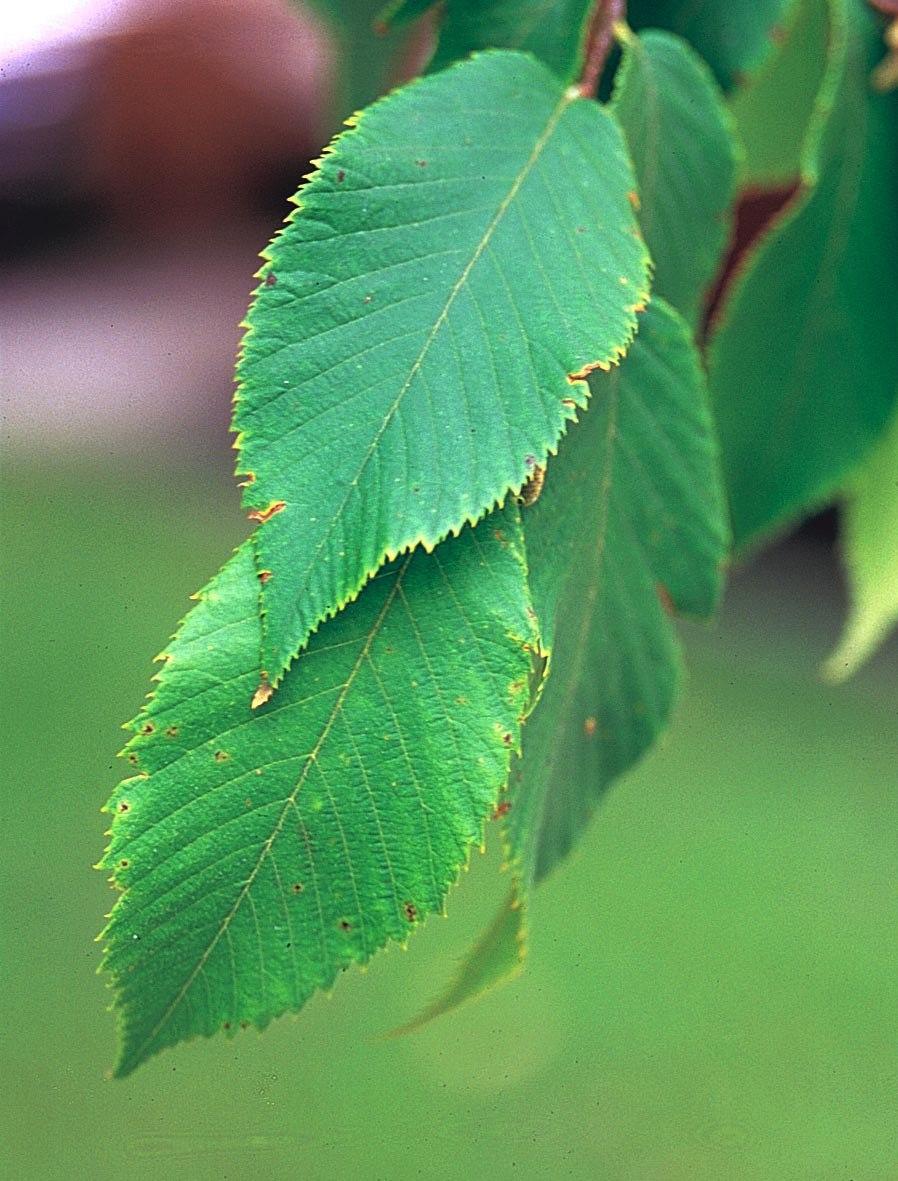 Ostrya virginiana1