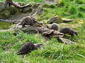 Otters run (2393772824).jpg