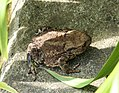Our resident toad finding shade (35472051370).jpg