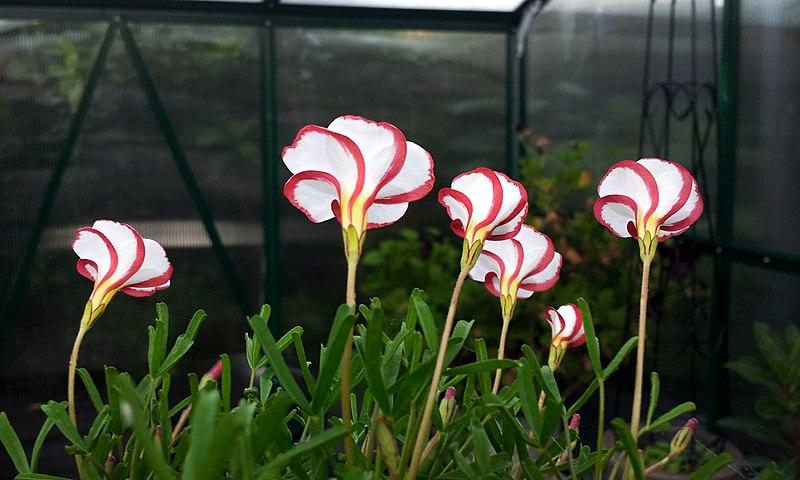 File:Oxalis versicolor (candycane sorrel).jpg