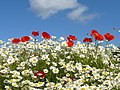 Oxeyed daisies and poppies at henge site, Ness Botanical Gardens - geograph.org.uk - 1634481.jpg