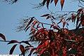 Oxydendrum arboreum 16zz.jpg
