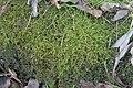 Oxyrrhynchium hians (a, 144650-480950) 3096.JPG