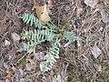 Oxytropis campestris plant full 1 AB.jpg