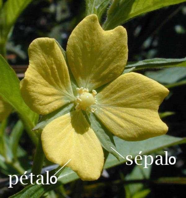 Pétalo-sépalo