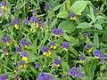 Pļavas Idzepolē zied, Kaunatas pagasts, Rēzeknes novads, Latvia - panoramio.jpg