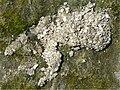 P1010169U - Schiermonnikoog Strandvlakte 2009 - Meeuwenkots schelpen.jpg