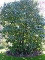 P1320123 Angers arboretum GA arbre z rwk.jpg