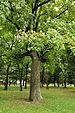 PL - Mielec - park Oborskich - Kroton 023.JPG