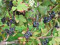 PNP-owocujący krzew.jpg