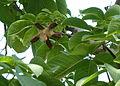 Pachira quinata fruit.jpg