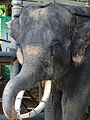 Pachyderm at Thai Elephant Conservation Center - Hang Chat - Thailand - 04 (35175459196).jpg