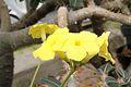 Pachypodium rosulatum pm Bl.jpg