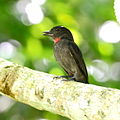 Pachyramphus minor - Pink-throated Becard (male).JPG