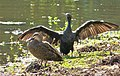 Pacific Black Duck. Anas superciliosa. with Little Black Cormorant. Phalacrocorax sulcirostris (48629503158).jpg