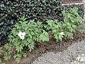 Paeonia suffruticosa10.jpg